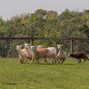 Dan, the Border Collie, gives a herding demonstration.