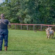 Roy Johnson gives a herding demonstration with his dog Dan